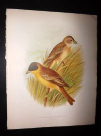 Butler, Frohawk & Gronvold 1908 Antique Bird Print. Black-Headed Bunting 84